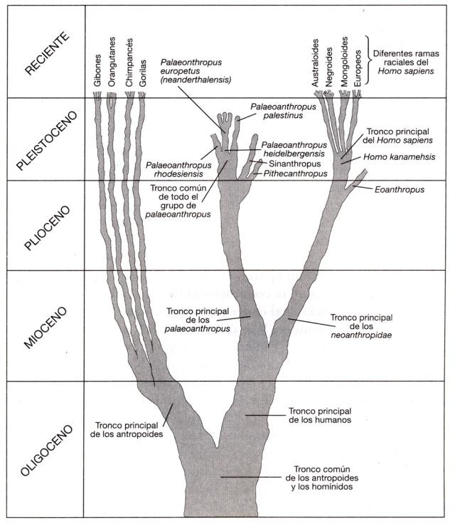 evolución humana - gráfico
