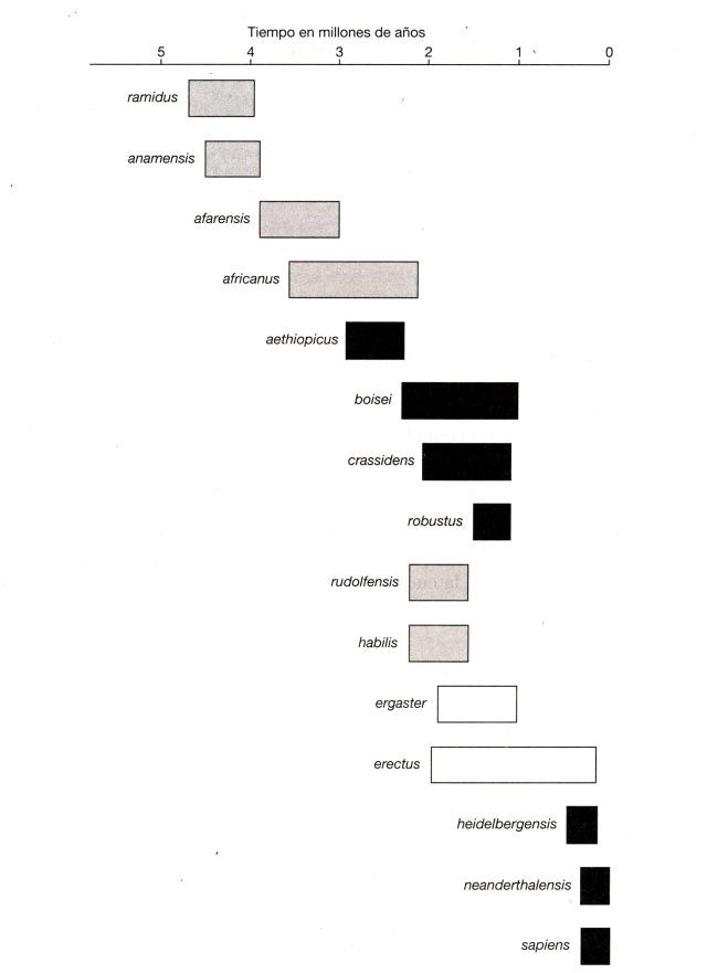 humanos y homínidos gráfico evolución